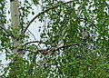 Zimovka, par (Pyrrhula pyrrhula) Eurasian Bullfinch, pair.jpg