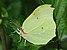 Zitronenfalter ♂ Gonepteryx rhamni