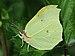 Zitronenfalter ♂ Gonepteryx rhamni.JPG