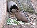 Zoo des 3 vallées - Capybara - 2015-01-02 - i3443.jpg