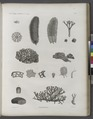 Zoologie. Algues. Hydrophytes (NYPL b14212718-1268631).tiff