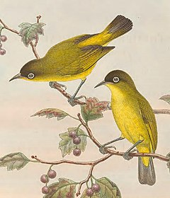 Zosterops uropygialis - The Birds of New Guinea (cropped).jpg