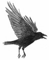 Zwarte kraai Corvus corone Jos Zwarts 5.tif