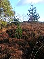 'Christmas Trees' at Black Moss, Armadale, West Lothian - panoramio.jpg