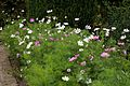 'Cosmos' cultivar bed in the Walled Garden at Goodnestone Park Kent England 1.jpg