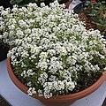 'Giga White' alyssum IMG 5056.jpg