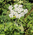 'Heracleum sphondylium' - Common Hogweed at Shipley, West Sussex, England 01.jpg