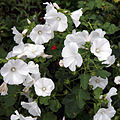 'Lavatera trimestris' Clavering Essex England 2.jpg
