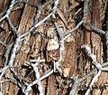 (0998) Light Brown Apple Moth (Epiphyas postvittana) (3208652635).jpg