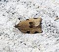 (1002) Lozotaenia forsterana (18874794349).jpg