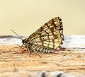 (1894) Latticed Heath (Chiasmia clathrata) (21358900885).jpg