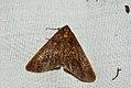 (1935) Mottled Umber (Erannis defoliaria) (4033689589).jpg