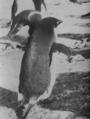 (Jubany) Pinguinos (7).png