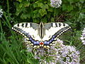 Бабочка Махаон на даче(2006 год).jpg