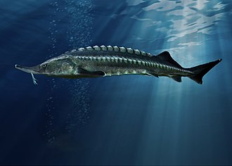 Beluga (sturgeon) - Image: Білуга (Huso huso)