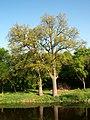 Дуби у парку на садибі Панаса Мирного.JPG