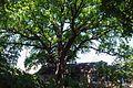 Дуб черешчатий Криниця 1.jpg