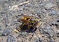 Оса германская - Vespula germanica - German Wasp - Европейска жълта оса - Deutsche Wespe (26881646145).jpg