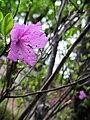 Рододендрон даурский также известен как Дальневосточная сакура.jpg