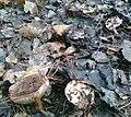 Рядовка тополева (Tricholoma populinum).jpg
