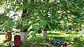 Територія дитячого садка, вул. Й. Сліпого, 2 платани-кучерики.jpg