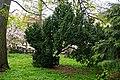 Тис ягідний в саду Лаудона, Ужгород P1360711.jpg