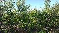 اشجار المشمش.jpg