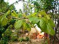 شجرة التوت البري.jpg