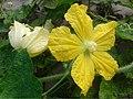 চালকুমড়ার ফুল (Benincasa hispida, wax gourde flowering).jpg