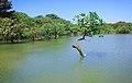 রাতারগুল বাগানের গাছ ও জলাভুমির ছবি 02.jpg