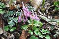 ბუჩქისძირა Corydalis cava Lerchensporn.jpg