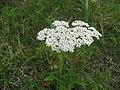 セイヨウノコギリソウ Achillea millefolium.JPG