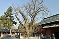 大觉寺 古树 - panoramio (1).jpg