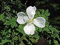峨嵋薔薇 Rosa omeiensis -維也納 Schoenbrunn Botanical Garden, Vienna- (9229879200).jpg