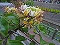廟仔尾溝旁盛開的台灣魚木及台灣粉蝶20120514.jpg