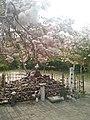 晴明塚の桜 - panoramio.jpg