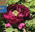 牡丹-墨池金輝 Paeonia suffruticosa 'Golden Radiance in Ink Pool' -菏澤百花園 Heze, China- (12427943923).jpg