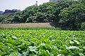 福岡城のお堀から福岡高等裁判所へ、6月 - panoramio.jpg