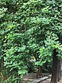 膠蟲樹 Butea monosperma 20201010112018.jpg