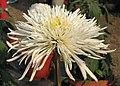 菊花-平沙追風 Chrysanthemum morifolium -中山小欖菊花會 Xiaolan Chrysanthemum Show, China- (11961614724).jpg