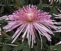 菊花-桃山帶歸 Chrysanthemum morifolium 'Hill of Peach Flowers' -香港圓玄學院 Hong Kong Yuen Yuen Institute- (11980303143).jpg