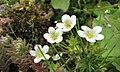虎耳草屬 Saxifraga exarata ssp moschata -巴黎植物園 Jardin des Plantes, Paris- (9229787356).jpg