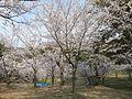 西公園の桜 その3 - panoramio.jpg