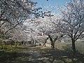錦帯橋西側土手の桜並木 - panoramio.jpg