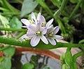 鴨舌草 Monochoria vaginalis -高雄原生植物園 Kaohsiung Original Botanical Garden, Taiwan- (40941109382).jpg
