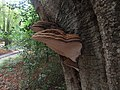 -2019-10-23 Bracket fungi (Ganoderma applanatum), Pond plantation, Trimingham (1).JPG