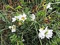 -2020-06-05 Dog rose (Rosa canina) flowers, Trimingham, Norfolk (1).JPG