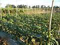 0574jfLandscapes Mabalas Diliman Salapungan Paddy fields San Rafael Bulacan Roadsfvf 02.JPG