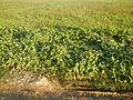 0663jfPaddy fields grasslands Gabihan San Ildefonso Bulacan Roadfvf 22.jpg