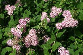 0 Spiraea japonica (2) - Yvoire.JPG
